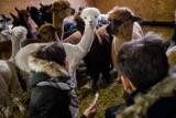 Alpaki w Warszawie. Przyjdź i pogłaszcz słodkie zwierzęta