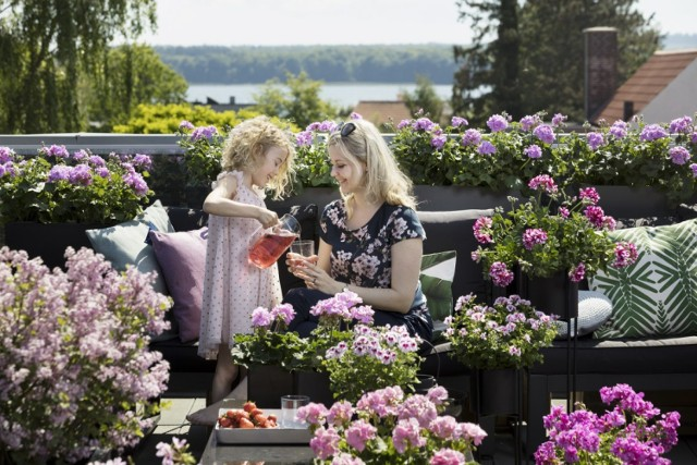 Foto Pelargonium for Europe/ kampania Europe in Bloom.