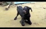 Koza-cyklop. Nietypowe zwierzę urodziło się w Indiach! [WIDEO]