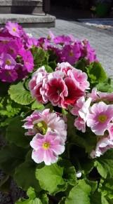 Kwiaty dla sąsiada. Piękny rewanż