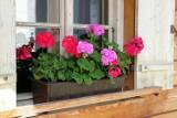 Zimowanie pelargonii krok po kroku. Jak przygotować te rośliny na zimę?