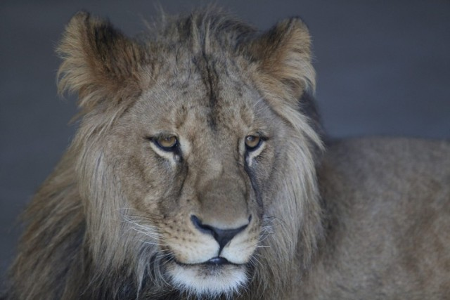 """Najsłynniejszy lew z chorzowskiego zoo nie żyje. Lew Bolek miał zaledwie 6 lat. Zobacz w galerii, jak wyglądał """"król zwierząt"""", gdy przyjechał do Śląskiego Ogrodu Zoologicznego."""