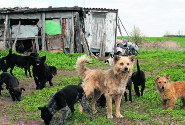 Psy mieszkają z właścicielem w rozwalającej się szopie.
