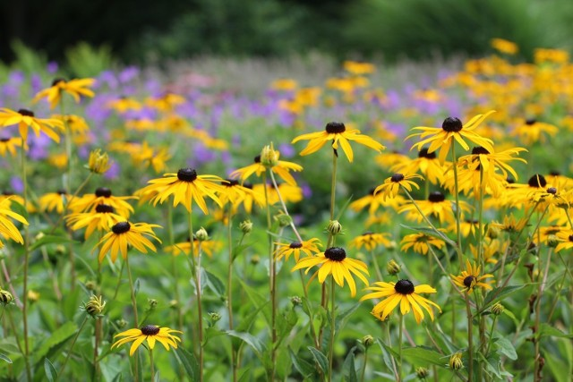 Polecamy piękne kwiaty do ogrodu, które są wieloletnie i odporne na mróz. Poznaj ich zalety i wymagania.