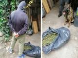 W mieszkaniu znaleziono kilkadziesiąt krzewów konopi indyjskich