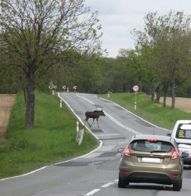 Łoś przechodzący drogę krajową nr 15 w okolicach Rakłowa (gmina Cieszków)