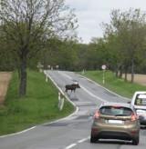 DK15: Kierowca sfotografował łosia przechodzącego przez drogę krajową nr 15 [FOTO]
