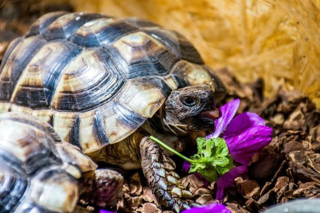 Żółw grecki jest objęty konwencją CITES i nie można go sprzedawać bez odpowiednich dokumentów