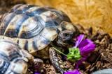 Ukradli żółwia greckiego ze sklepu zoologicznego w Łodzi. Właściciel wyznaczył 2 tys. zł nagrody i szuka złodzieja na własną rękę