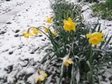 W nocy w Przemyślu i okolicach spadł śnieg. Nadal pada [ZDJĘCIA INTERNAUTKI]
