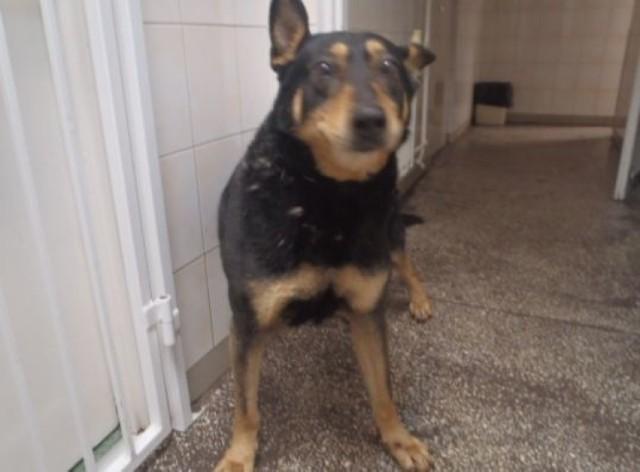 Policja szuka osoby odpowiedzialnej za porzucenie psa. Zwierzę było przywiązane do drzewa przewodem elektrycznym.