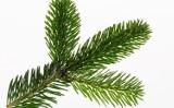 Jodła, sosna, świerk – jak wybrać drzewko na Święta