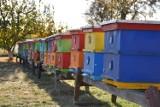 Pszczoły zbierają więcej miodu, sezon jest lepszy od poprzedniego