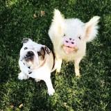 Oto Olive, świnia, która myśli, że jest psem. Zobaczcie zdjęcia!
