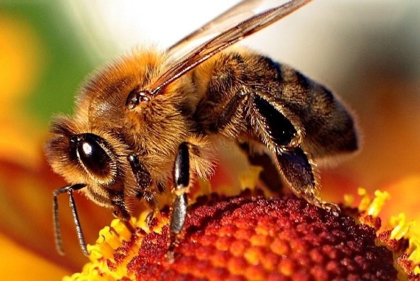 Pszczoły cechują się specyficznym puszkiem. Owady te są...