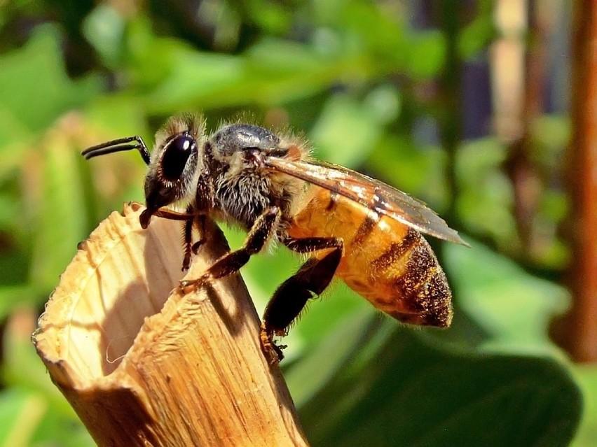 Pszczoły są też znacznie mniejsze niż szerszenie. Mają od 7...