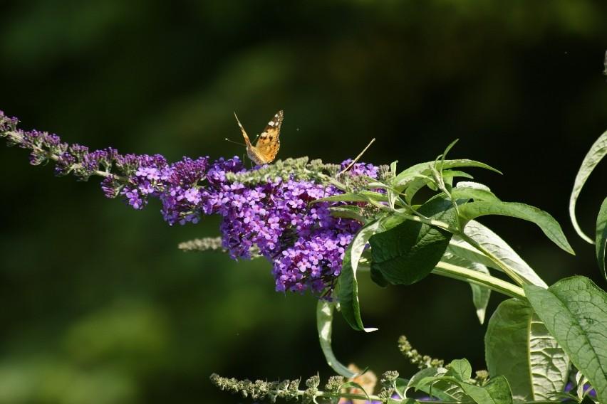 """To niezwykła ozdoba ogrodu, nazywana również """"motylim..."""