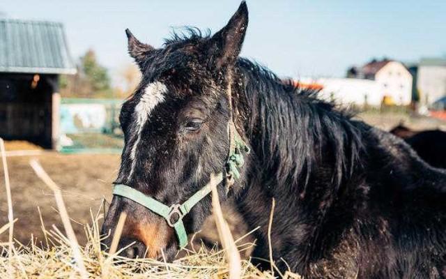 Drumla miała trafić na rzeź po wielu latach ciężkiej pracy. Pracowała w polu, ciągnęła bryczkę, rodziła źrebaki. W 2012 roku Klub Gaja uratował klacz i przekazał do Zespołu Szkół Specjalnych nr 4 w Sosnowcu
