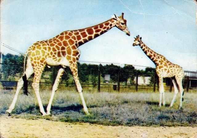 Pierwsza żyrafa w Polsce urodziła się w Śląskim Ogrodzie Zoologicznym. W wyniku miłości Wielokropka oraz Kreski na świat 27 lipca 1968 roku przyszedł Przecinek.  Źródło: Park Śląski