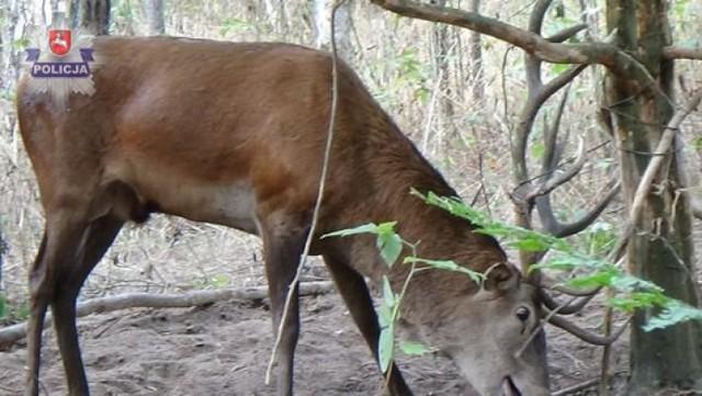 Jeleń złapał się w zastawione sidła