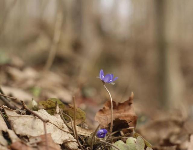 Pierwsza w tym roku kwitnąca przylaszczka w Przemyślu.