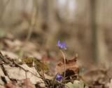 Pierwsza w tym roku przylaszczka w lesie koło Przemyśla. Czy to znak szybkiej wiosny?