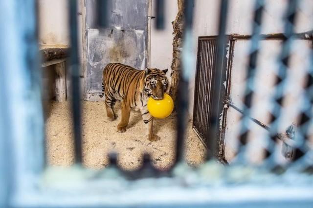 W ogrodzie zoologicznym Canpol pod Człuchowem znalazły schronienie i opiekę dwa tygrysy ocalone z transportu, który został zatrzymany pod koniec października na granicy polsko-białoruskiej. Samochód przewożący 10 tygrysów przepuściły polskie służby graniczne, bo organizatorzy przewozu przedstawili wymagane dokumenty. Wjazdu odmówiły jednak służby białoruskie, ponieważ brakowało certyfikatów od włoskich służb weterynaryjnych, a kierowcy nie mieli aktualnych wiz. Tak ciężarówka z tygrysami została cofnięta do Polski. Tu ktoś wreszcie zainteresował się zwierzętami i na jaw wyszła koszmarna prawda - zwierzęta spędziły wiele dni upakowane w ciasnych klatkach, wygłodzone i odwodnione. Udało się uratować 9 z nich tylko dzięki szybkiej akcji poznańskiego zoo, które zaoferowało się je przyjąć. Dwa najsilniejsze samce trafiły pod opiekę Canpolu w Sieroczynie (gmina Człuchów). – Chcemy zmniejszyć ich poczucie strachu i zwiększyć zaufanie do człowieka, a także przywrócić wiarę w siebie, bo tygrys musi być tygrysem – wyjaśniła Izabella Odejewska, współwłaścicielka zoo w Człuchowie.  Więcej o tej sprawie oraz zdjęcia: Czytaj więcej