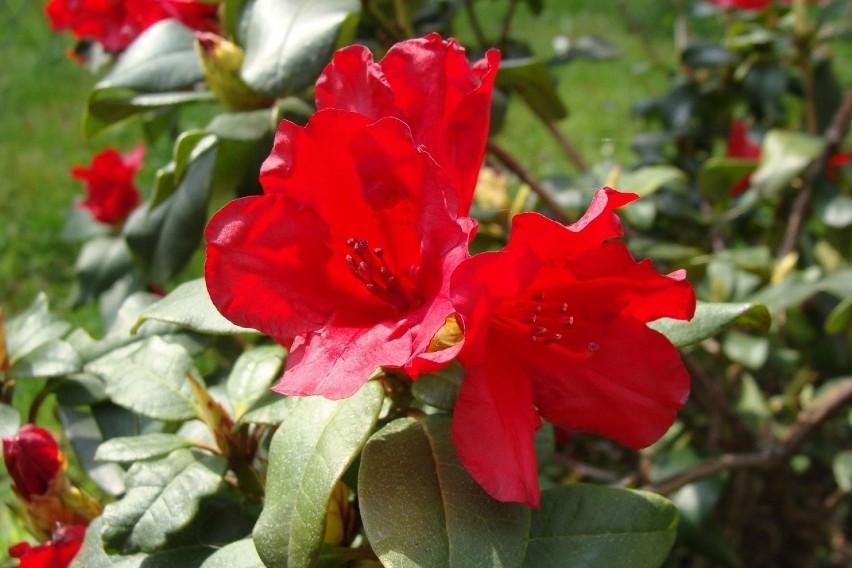 Późną wiosną zakwitają azalie i rododendrony. Wśród wielu...