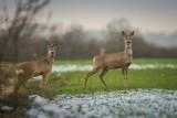 """Psy atakują dzikie zwierzęta w warszawskich lasach. """"Dziennie ginie jedna sarna"""""""