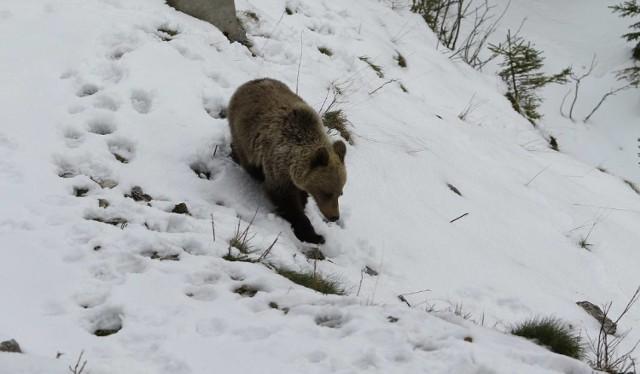 Niedźwiedzie żyją zarówno po polskiej, jak i po słowackiej stronie. W Polsce problematyczne osobniki są stale monitorowane