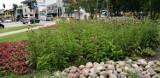 Pruszcz Gdański. Kwiatowy skwer w centrum miasta przyciąga motyle i inne owady. Zobaczcie ZDJĘCIA