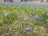 Bytom: Park Miejski im. F. Kachla tonie w niebieskich kwiatach! Kwitną cebulice!