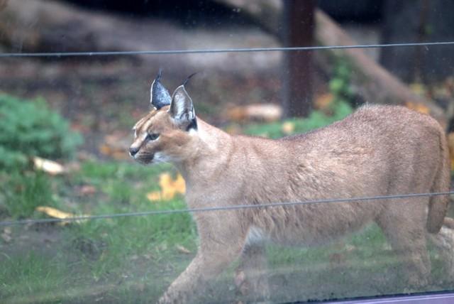 Puma Nubia to mieszkanka  Śląskiego Ogrodu Zoologicznego
