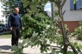 Kielczanin mówi, że uczniowie połamali gałęzie drzewa