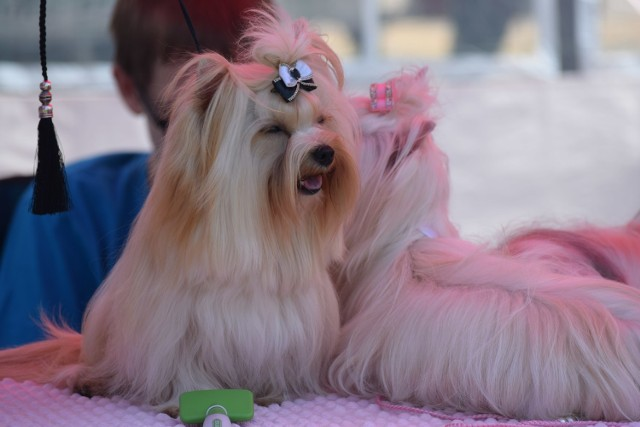 Do Gogołowej zjechały psie piękności