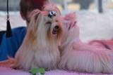 Wystawa psów w Gogołowej. Na boisku same psie piękności