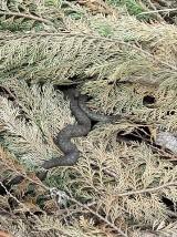 Żmija w lasach w powiecie wejherowskim. Gada zauważono też w centrum Choczewa