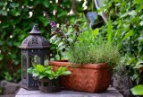 Te kwiaty balkonowe przechowasz do wiosny. Zobacz, jak je przezimować