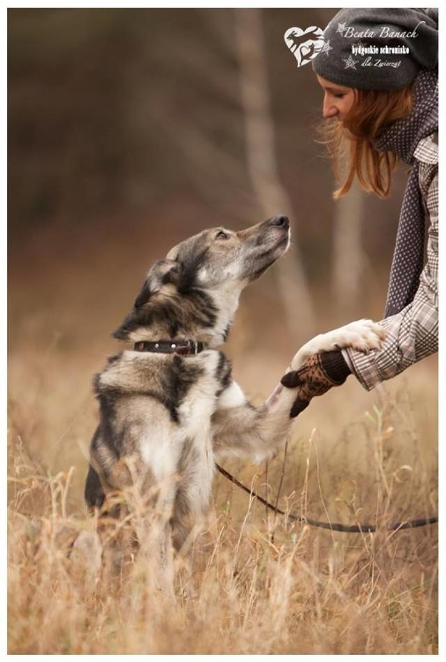 Są oddane, wierne i mimo tego, co przeszły wciąż ufają człowiekowi. Zobaczcie psiaki, które mieszkają w schronisku i czekają aż ktoś je pokocha.   Bajkał ma około sześciu lat. Jest pięknym, średniej wielkości psiakiem o wyglądzie wilka. Jest także bardzo żywiołowy, dlatego nowy właściciel będzie musiał zapewnić mu odpowiednią dawkę ruchu.   >> Najświeższe informacje z regionu, zdjęcia, wideo tylko na www.pomorska.pl
