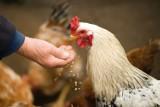 Powiat gorzowski zagrożony wystąpieniem ptasiej grypy