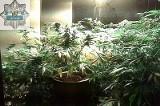 Marihuana w szafie bytomianina. Remont był przykrywką!
