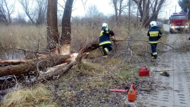 Bobry uszkodziły drzewa w Sobieszewie