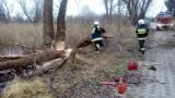 Trzeba było wyciąć cztery drzewa w Sobieszewie. Zawiniły bobry [wideo,zdjęcia]