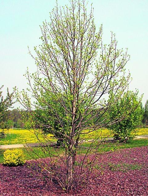 10 lat ma tulipanowiec w arboretum w Sycowie. Dr Magdalena Mularczyk ogląda liść drzewka z ogrodu botanicznego we Wrocławiu, przy którym dziś będzie odsłonięty pamiątkowy kamień