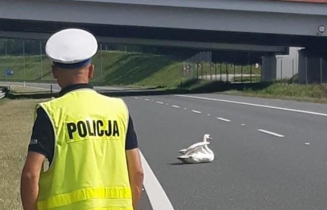 Ranny łabędź znajdował się na autostradzie A4 i zagrażał poruszającym się drogą samochodom. Interweniowali policjanci