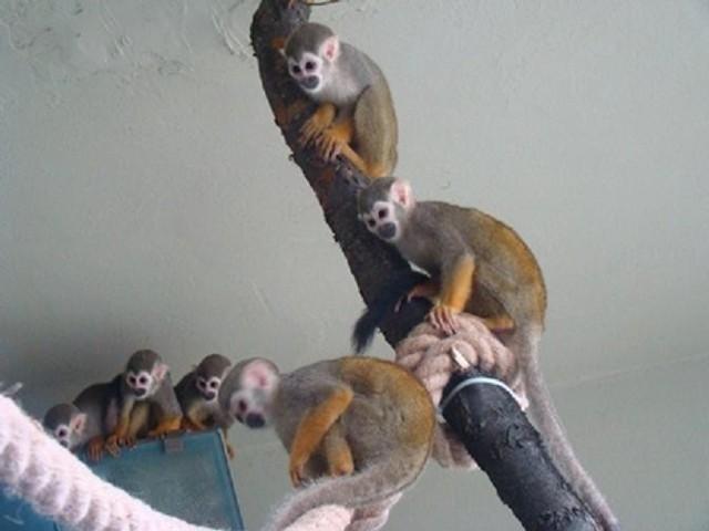 Sajmiri wiewiórcze to nowi lokatorzy w pawilonie małp