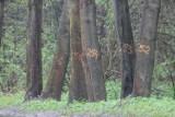 W Pilicy wytną kilkadziesiąt drzew