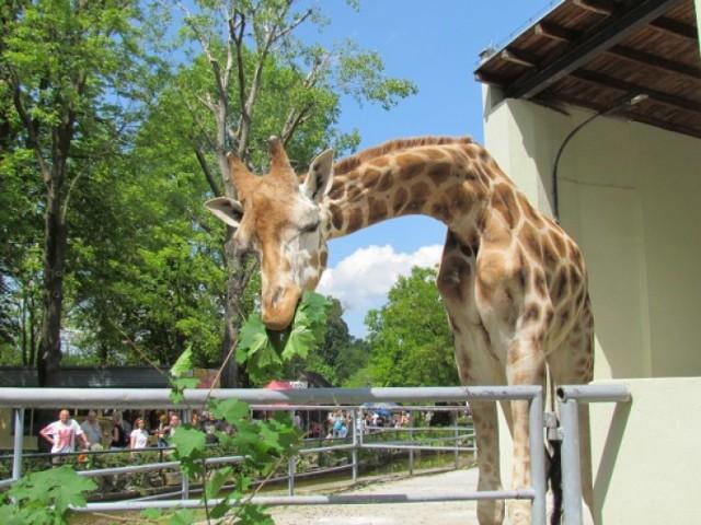zoo, żyfara