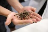 Jadowite pająki i skorpiony na wystawie w Europie Centralnej w Gliwicach. Można je nawet wziąć na rękę