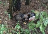 W lesie w Poznaniu znaleziono psa przywiązanego do drzewa drutem